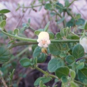 Photographie n°92045 du taxon Salpichroa origanifolia (Lam.) Baill. [1888]
