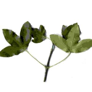 Photographie n°92121 du taxon Acer monspessulanum L. [1753]