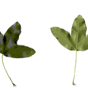 Photographie n°92122 du taxon Acer monspessulanum L. [1753]