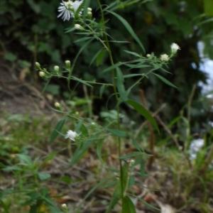 Photographie n°92126 du taxon Aster x salignus Willd. [1803]