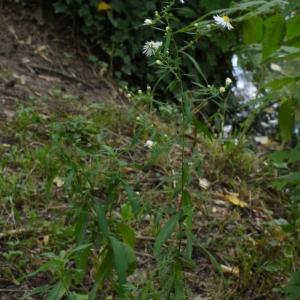 Photographie n°92127 du taxon Aster x salignus Willd. [1803]