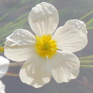 Ranunculus fluitans Lam. (Renoncule des rivières)