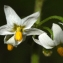Liliane Roubaudi - Solanum nigrum L.