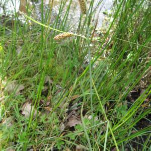 Photographie n°92239 du taxon Carex flacca Schreb. [1771]