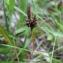 Dominique Remaud - Carex caryophyllea Latourr. [1785]