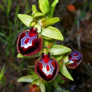 Ophrys provincialis (Baumann & Künkele) Paulus (Ophrys de Provence)