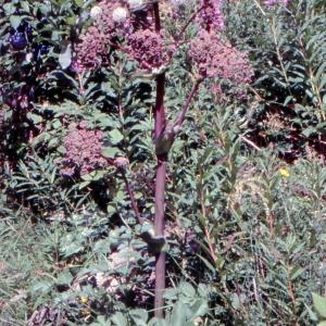 Photographie n°92404 du taxon Angelica archangelica L. [1753]