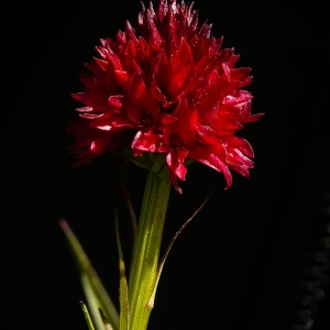 Photographie n°92408 du taxon Gymnadenia nigra subsp. rhellicani (Teppner & E.Klein) J.M.Tison [2010]