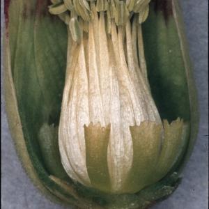 Photographie n°92426 du taxon Helleborus foetidus L. [1753]