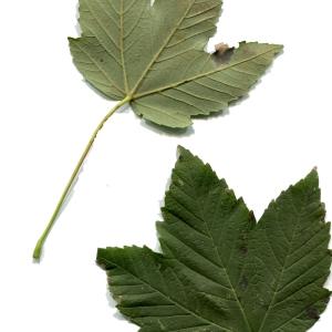 Photographie n°92444 du taxon Acer pseudoplatanus L.