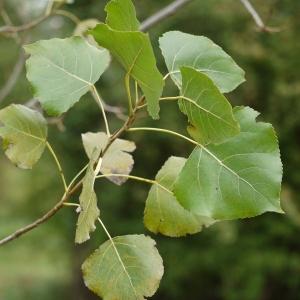 Photographie n°92523 du taxon Populus nigra L.