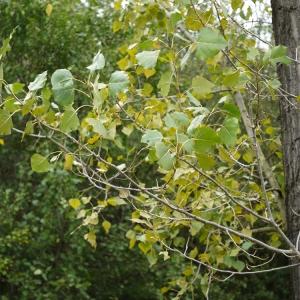 Photographie n°92524 du taxon Populus nigra L.