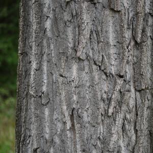 Photographie n°92525 du taxon Populus nigra L.
