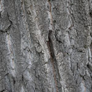 Photographie n°92526 du taxon Populus nigra L.