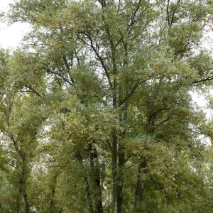 Photographie n°92530 du taxon Populus nigra L.
