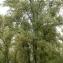 Liliane Roubaudi - Populus nigra L. [1753]