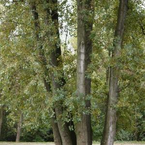Photographie n°92531 du taxon Populus nigra L.
