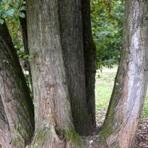 Photographie n°92532 du taxon Populus nigra L.