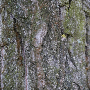 Photographie n°92538 du taxon Populus nigra L.