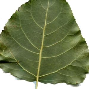 Photographie n°92539 du taxon Populus nigra L.