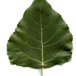 Photographie n°92540 du taxon Populus nigra L.