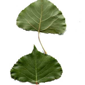 Photographie n°92541 du taxon Populus nigra L.