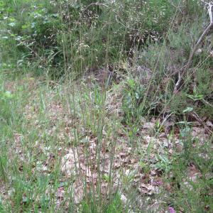 - Deschampsia flexuosa (L.) Trin. [1836]