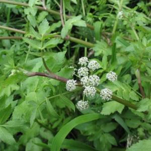 Apium nodiflorum (L.) Lag. (Ache faux cresson)