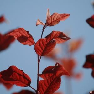 Photographie n°92608 du taxon Prunus cerasifera Ehrh.