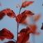 EL HOUSSINE Bouiamrine - Prunus cerasifera Ehrh.