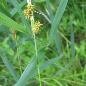 - Carex flava L. [1753]