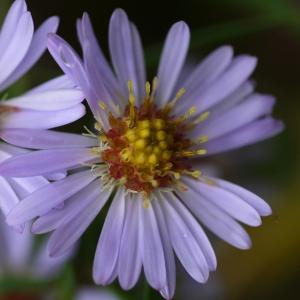 Symphyotrichum novi-belgii (L.) G.L.Nesom [1995] (Aster de Virginie)