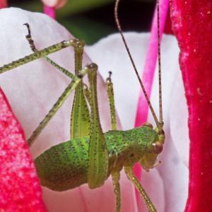 Photographie n°92715 du taxon Fuchsia L.