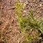 biodiv06 - Galium aparine L.