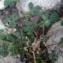 - Trifolium pratense L. [1753]