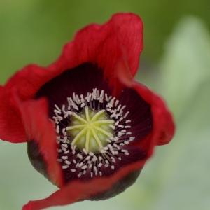 - Papaver somniferum subsp. somniferum