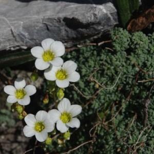 Saxifraga diapensioides Bellardi (Saxifrage fausse diapensie)