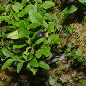 Photographie n°92904 du taxon Vaccinium myrtillus L.