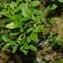 Jean-Luc Gorremans - Vaccinium myrtillus L.