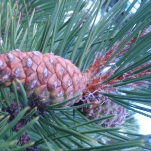 Pinus nigra J.F.Arnold [1785] (Pin noir d'Autriche)