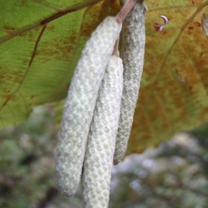 Corylus avellana L. (Coudrier)
