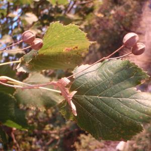 Tilia x europaea L. (Tilleul commun)