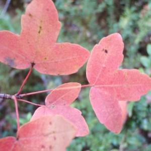 Photographie n°92979 du taxon Acer monspessulanum L. [1753]