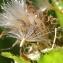 Marie  Portas - Cirsium oleraceum (L.) Scop.
