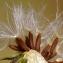 Marie  Portas - Picris hieracioides L.