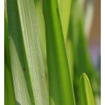 Sparganium erectum L. subsp. erectum (Rubanier dressé)