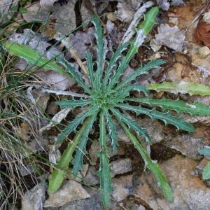 Photographie n°93125 du taxon Carlina vulgaris L.