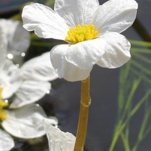Photographie n°93135 du taxon Ranunculus fluitans Lam. [1779]