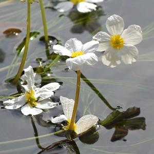 Photographie n°93136 du taxon Ranunculus fluitans Lam. [1779]