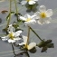 Marie  Portas - Ranunculus fluitans Lam. [1779]
